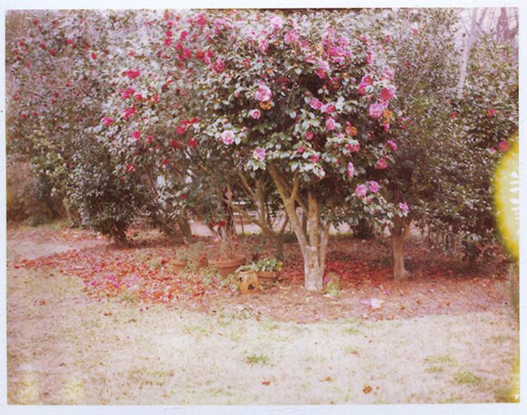 Polaroid, camellia